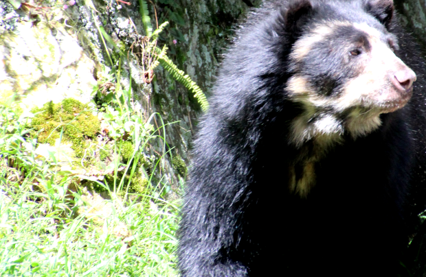 The shy, gentle oso andino (spectacled bear) is native to the Andes.