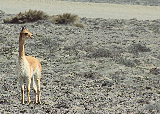 llama thing