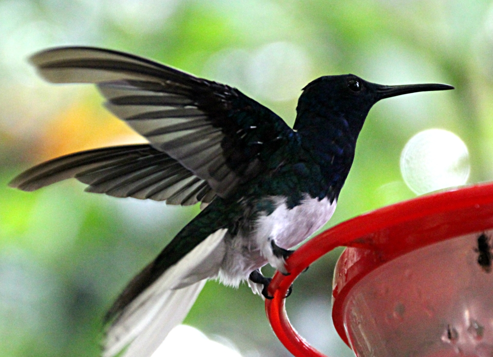 Hummingbird in Mindo, Ecuador's bird watching paradise.