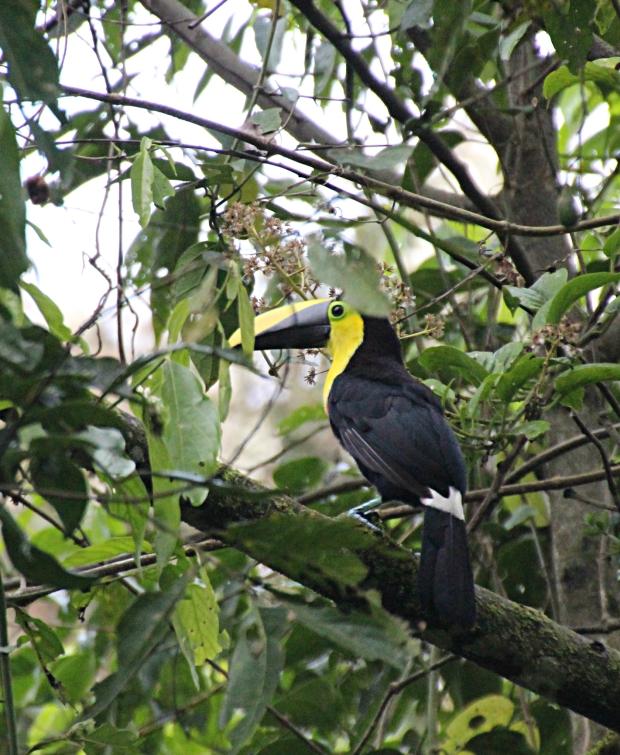 toucan2crop